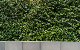 Green wall plant with granite wall. For background Royalty Free Stock Image