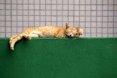 Green wall and sleeping cat Stock Photography