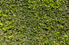 Green wall. Thick green garden hedge pattern Stock Images