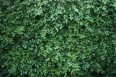 Green wall. Tree, Texture background Royalty Free Stock Photo