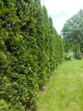 Green wall. Trees, green, garden, jassemine, wall Stock Photo