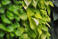Green Wall Variation Royalty Free Stock Photography