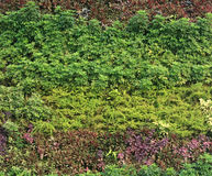 Green wall vertical garden Royalty Free Stock Image
