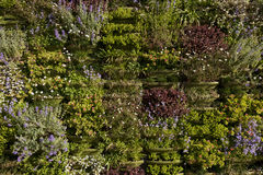 Green Wall or Vertical Garden closeup Stock Photography