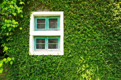Green wall with window. Plant green wall with window Royalty Free Stock Photography