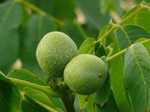 Green walnut Stock Images