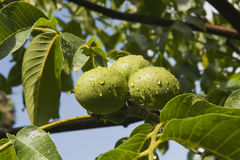 Green walnut. S with water drops hanging in the tree Stock Image
