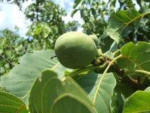 Green walnut. Close view of the single green walnut Royalty Free Stock Photos