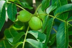 Free Green Walnut Royalty Free Stock Image - 5850166