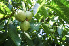Green walnut branch. Caucasian, Russian Royalty Free Stock Image