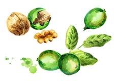 Green Walnut compositions set. Hand-drawn illustration. Green Walnut compositions set. Hand-drawn watercolor illustration Stock Photo