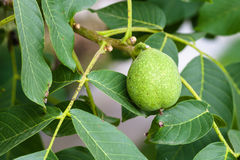 Green walnut fruit on tree in summer season Royalty Free Stock Image
