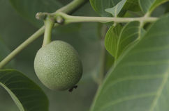 Green walnut fruit in the twig Stock Image