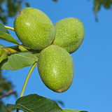 Green Walnut fruits Stock Photos