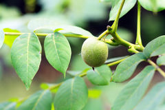 Green walnut Royalty Free Stock Photography