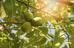 Green walnut growing on a tree, summer season. Stock Photography