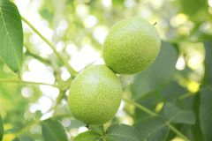 Green walnut grows on a tree branch . fruit growing in the garden on trees. stock images