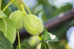 Green Walnut Stock Image