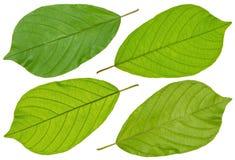 Green walnut leaf Stock Photography