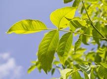 Green walnut leaf. Green walnut tree leaves on blue sky Royalty Free Stock Photos