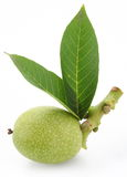Green walnut with leaves. Royalty Free Stock Photos