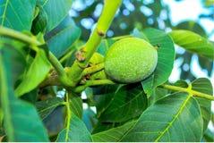 Green walnut Stock Photo
