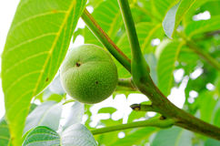 Green walnut tree Royalty Free Stock Image