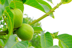 Green walnut tree Stock Photography