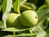 Green walnut. Tree fruit on branch Royalty Free Stock Photos