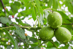 Green walnut Stock Photo