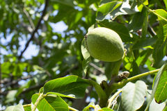 Green walnut on tree. Green walnuts with green leaves on a tree branch Stock Photography