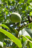 Green walnut on tree. Green walnuts with green leaves on a tree branch Stock Photos
