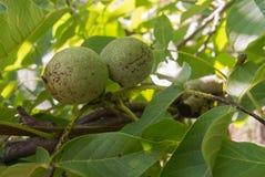 Green_walnut. Two walnuts on the tree Royalty Free Stock Photography