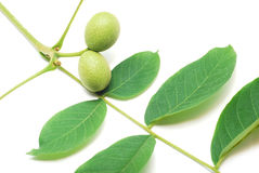 Green walnut Royalty Free Stock Photography
