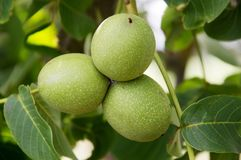 Green walnut yaoung fruits ripening on the tree with leaves, natural agricultural background Royalty Free Stock Images