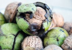 Green Walnuts Royalty Free Stock Photos