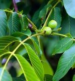 Green walnuts Stock Photo