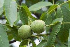 Green walnuts Stock Photo