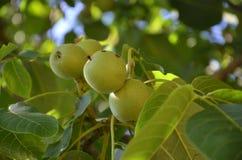Green Walnuts Royalty Free Stock Photography