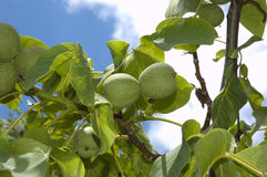 Green walnuts. On sky backgound with green leaves Royalty Free Stock Image