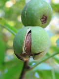 Green walnuts. Still on a tree branch Royalty Free Stock Photos