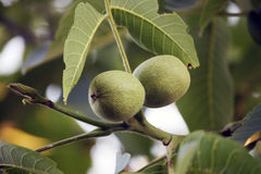 Green walnuts on branch Stock Photography