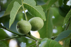 Green walnuts on branch Royalty Free Stock Photo