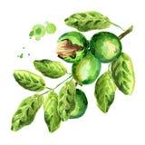 Green walnuts. Branch. Watercolor. Illustration Stock Photos