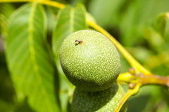 Green walnuts, close-up Royalty Free Stock Photos