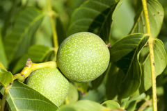 Green walnuts, close-up Royalty Free Stock Image