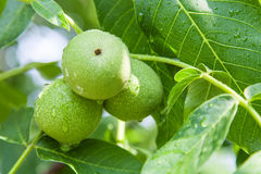 Green walnuts growing on branch Royalty Free Stock Photos