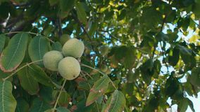 Walnut harvest agriculture stock video  Video of fresh - 127713711