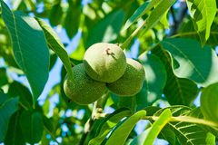 Green walnuts are growing on the tree. Royalty Free Stock Photo