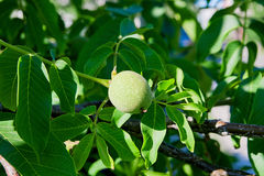 Green walnuts are growing on the tree. Royalty Free Stock Photos